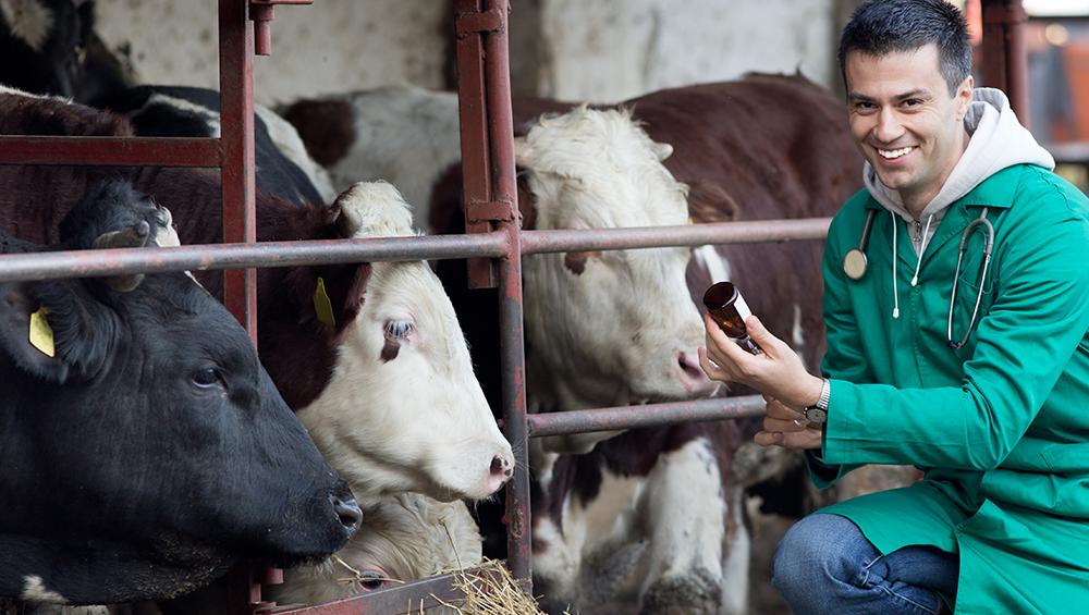 Mitos e verdades na pecuária: a vacina para bovinos