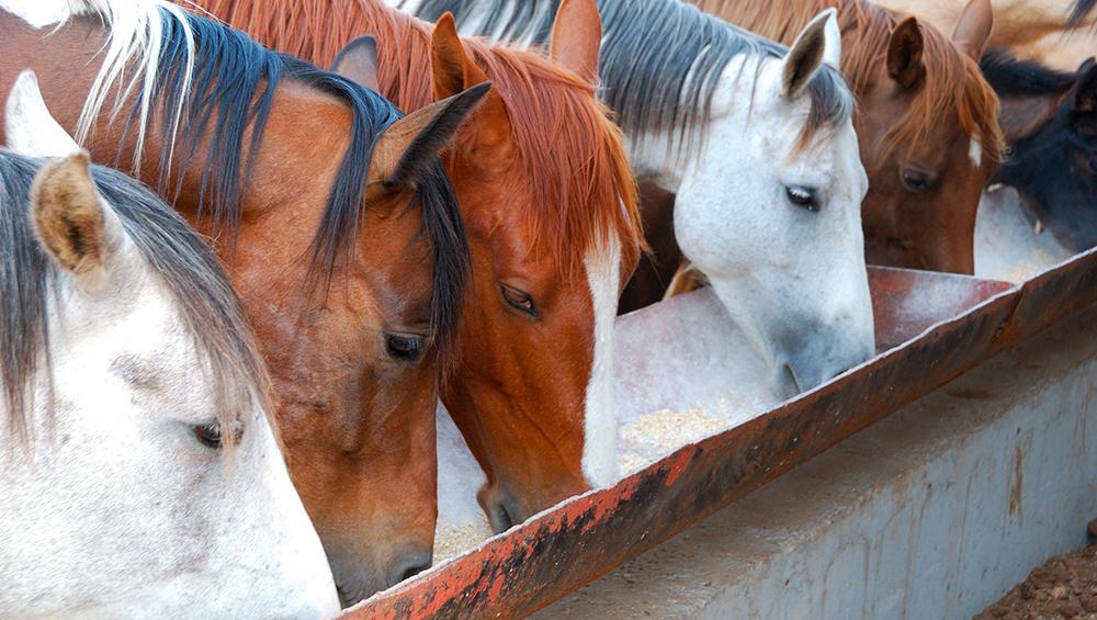 Pode-se usar a mesma suplementação para equinos e bovinos?