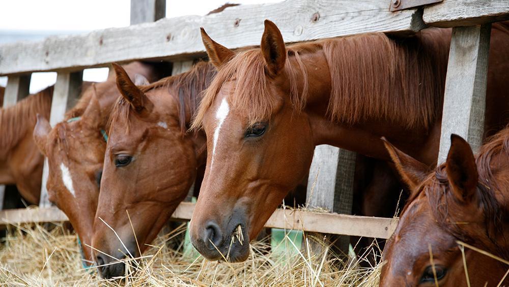 O que considerar no manejo de equinos em baias