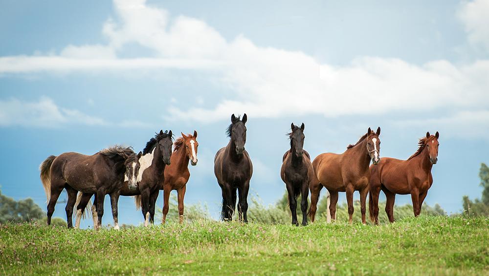 Mula ou cavalo? Como escolher o melhor animal para a lida com o gado