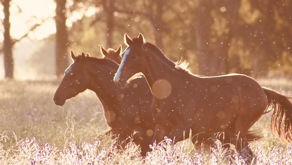 Conheça os 4 tipos de andamentos do cavalo