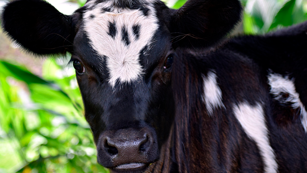 Produtor de leite: Veja a importância de oferecer a alimentação sólida à bezerra antes da desmama
