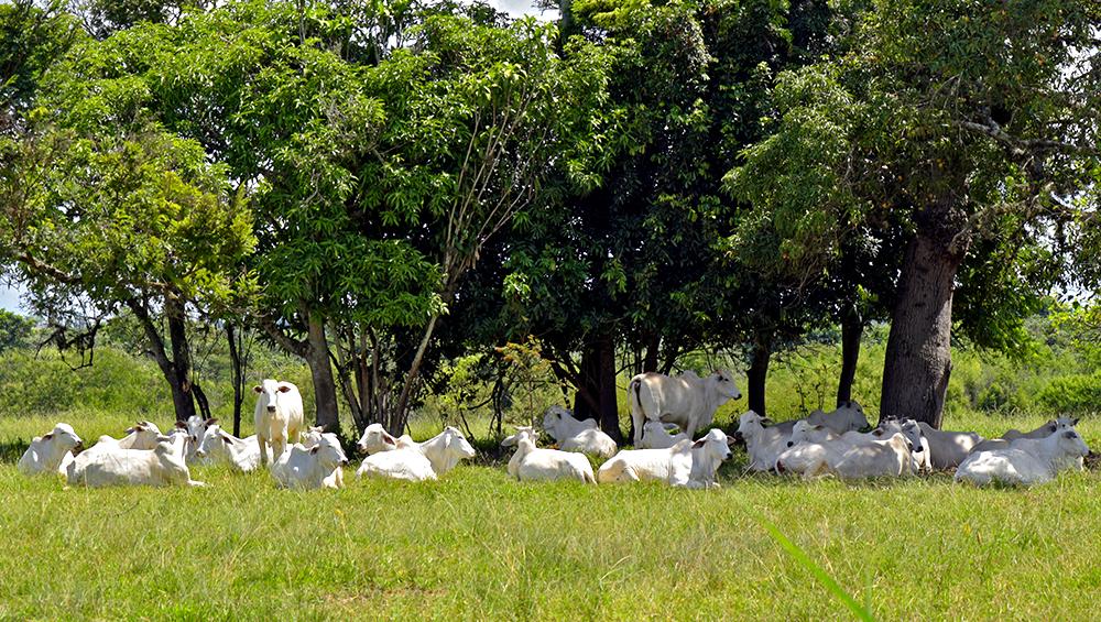 Bem-estar animal na produção bovina