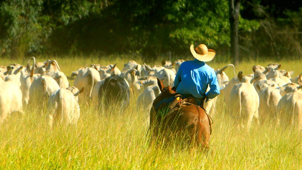 Passo a passo de como iniciar sua criação de gado!