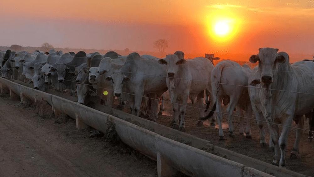Importância da adaptação à dieta no confinamento de boi
