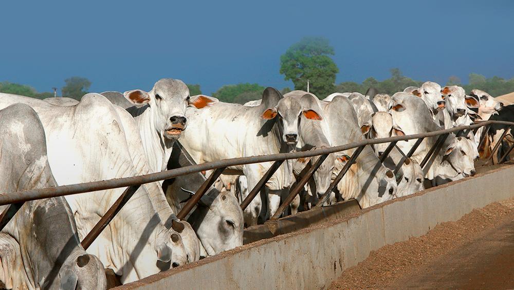 O que é confinamento bovino? Conheça suas vantagens!